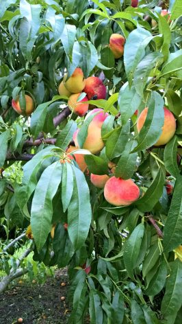 Peach Picking and Peach Cobbler