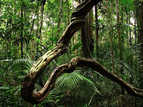 ayahuasca-liana1
