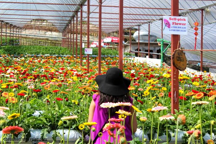 lavender garden Malaysia