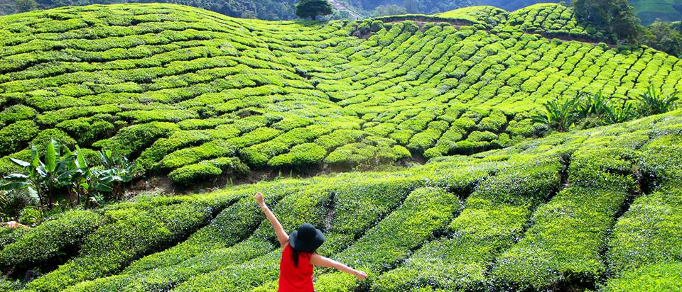 5 Things to Do In Cameron Highland