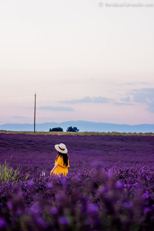 Lavender fields France Picture