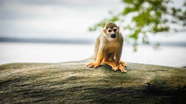 a cute monkey at the French Guiana Ilet la Mere