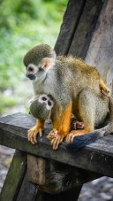 a monkey and a baby monkey at the French Guiana Ilet la Mere