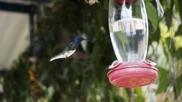 green blue hummingbird hovering