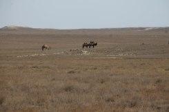 Camels standing in the desert in Kazakhstan