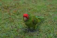 green Perrot