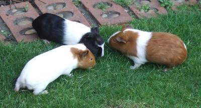 What the Lives and Deaths of My Brother's Guinea Pigs Taught Me About the Southern Gothic