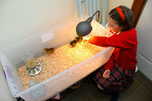 Raising Chicks A Simple Biddy Box Brooder For First