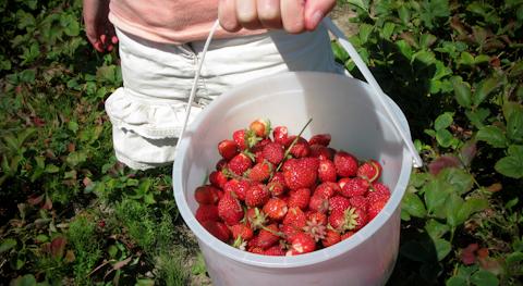 Strawberry-3945