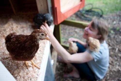 chickens-9413