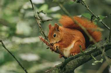 a red squirrel gnawing a conifer cone