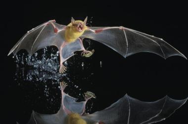 Fish-eating Bats