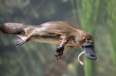 Platypus (Ornithorhynchus Anatinus)