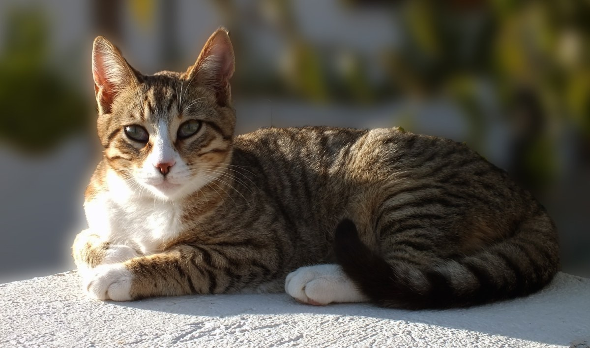 American Wirehair