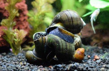 Freshwater Snails