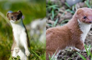Stoats And Weasels