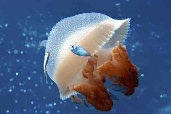 Jellyfish Eat