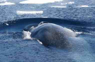Antarctic Blue Whale