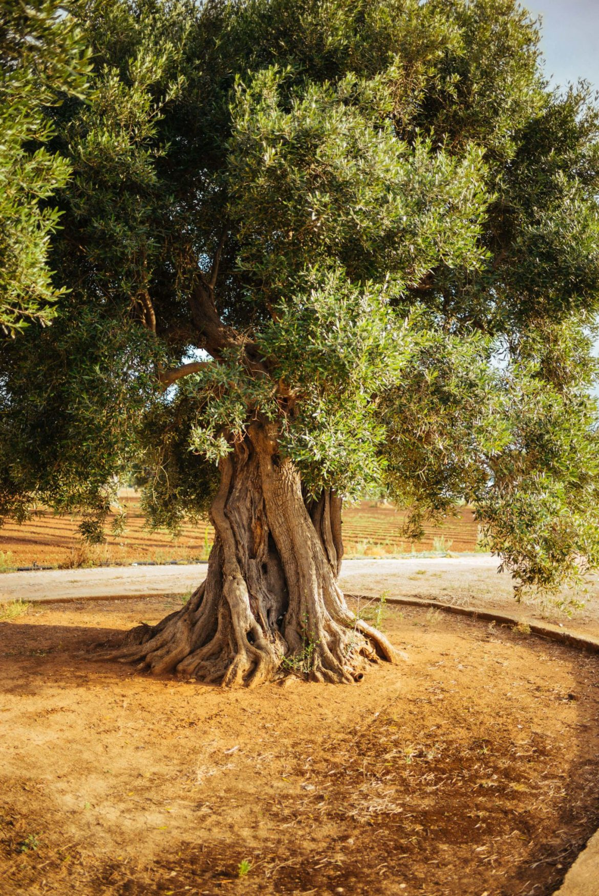 Explore Ancient Olive trees in Puglia, this is one of the most undiscovered romantic destinations in italy for your romantic getaway - try olive oil or take a cheese tour