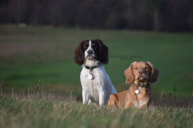Mia and Hugo, Working Cocker Spaniels