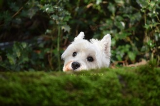 Dolly, West Highland Terrier