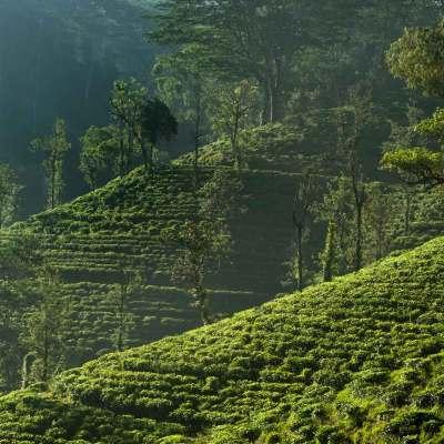 Plantacja herbaty, Matale