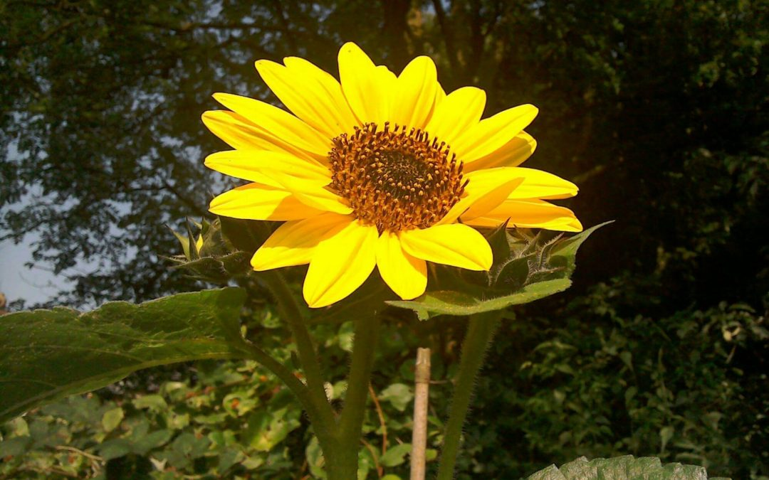 Wordless Wednesday: The Happy Sunflower