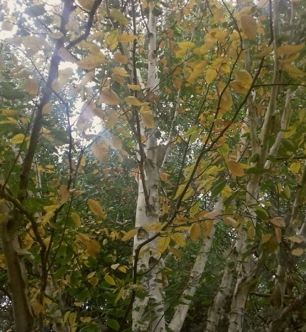 Wordless Wednesday: Autumnal Birch