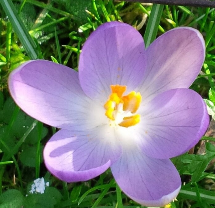Wordless Wednesday: The Cheerful Crocus