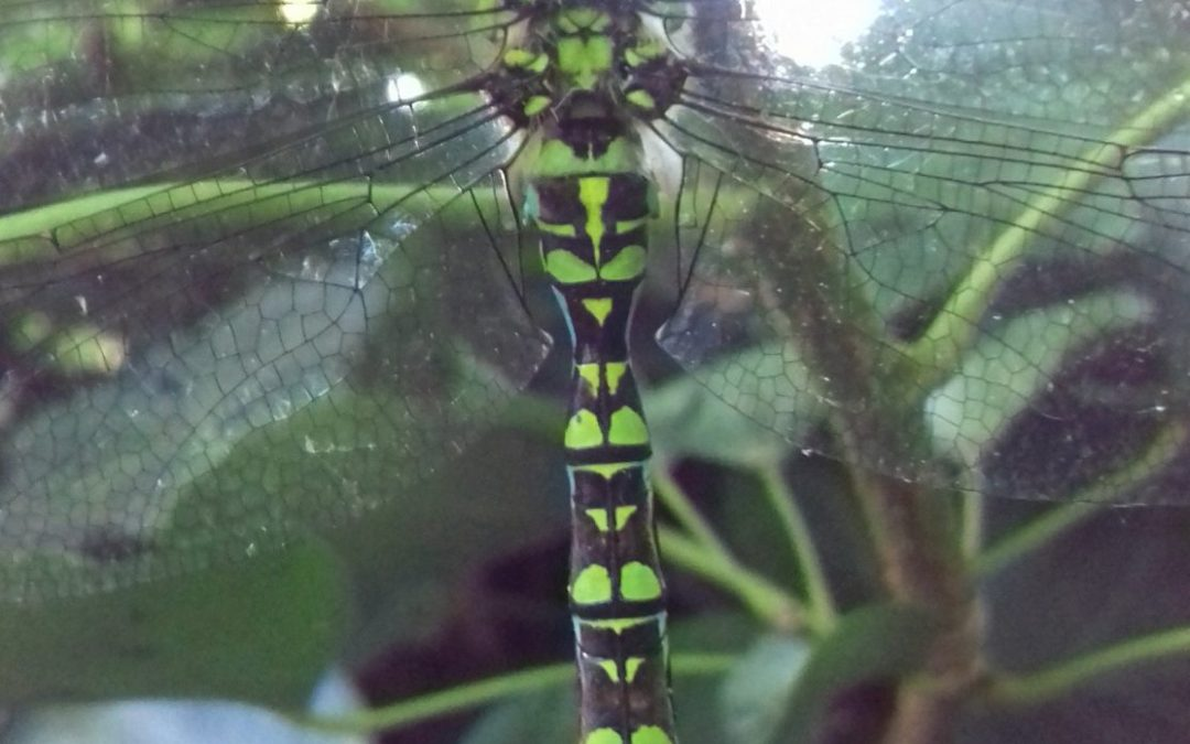 Wordless Wednesday: The Southern hawker