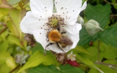 Wordless Wednesday: Bramble Bee