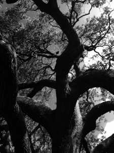 tree-at-the-alamo-july-2016