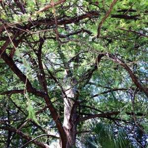 bushy-tree-san-antonio-july-2016
