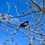 Solo Walk Vintage Lake Cherry Blossoms Shadows 3.29.18 #4