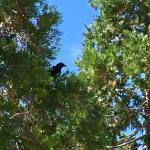 Crows 6.27.18 #1