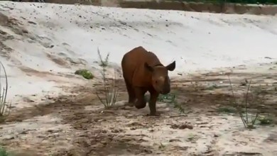 This black rhino may zoomie right into your heart. Watch – it s viral