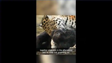 This jaguar couple's 2020 'love story' is purrfect. Watch swoon-worthy clip – it s viral