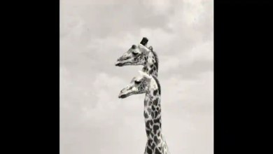 Incredible pictures of giraffes may make you do a double take – it s viral