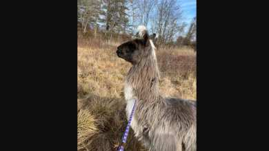 Man rescues 'very chill' llama wandering off highway in Newburyport, Massachusetts – it s viral
