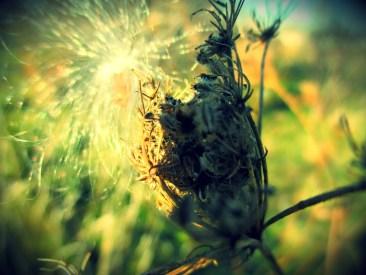 milkweed-2