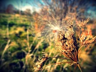 milkweed-4