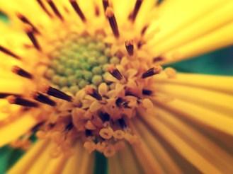 wild sunflower 3