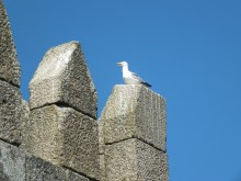 Seagull on the medieval wall