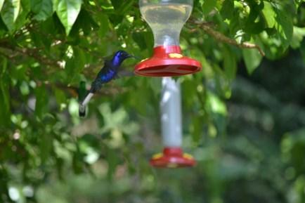 violet sabrewing - a humingbird