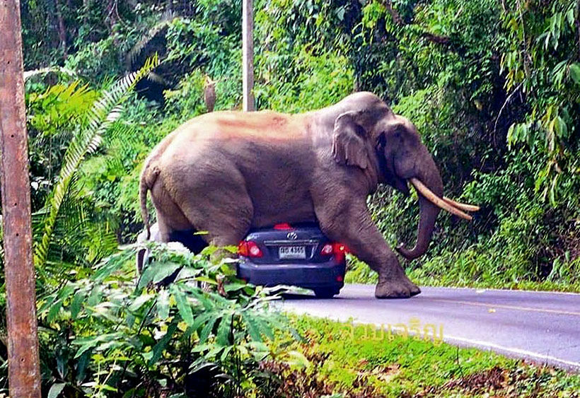 Top 10 rules to avoid an elephant squishing your car | The Thaiger