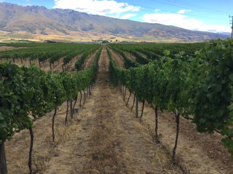 Misha's Vineyard Rows by The Thirsty Kitten