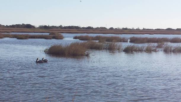 Some pelicans that didn't seem to mind us