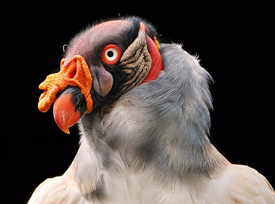 Funny vulture