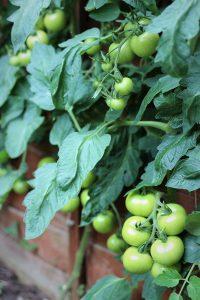 gardeners delight tomatoes