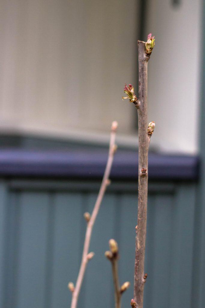 cherry tree ''stella'